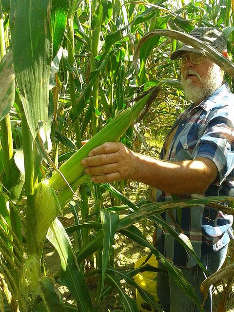 Terry Davis picking corn