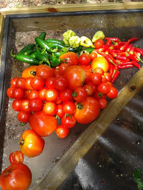 After: Tomato, jalapeno, habanero, bird pepper