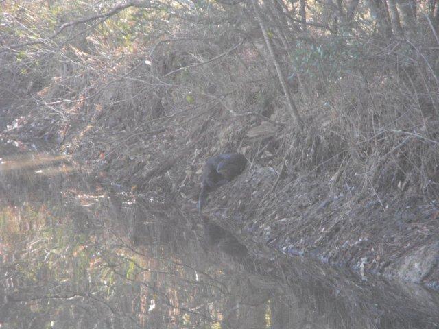 Otter on dam