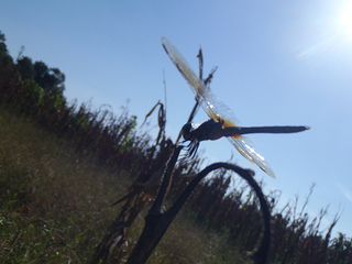 Skeeter hawk with sun