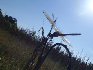 Skeeter hawk with sun