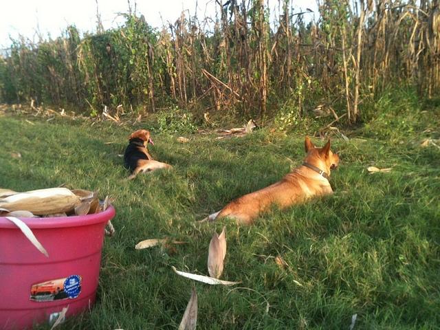 Brown Dog and Yellow Dog